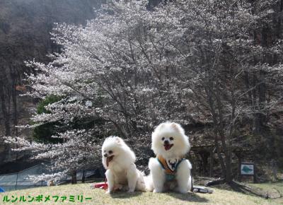 山の上 桜