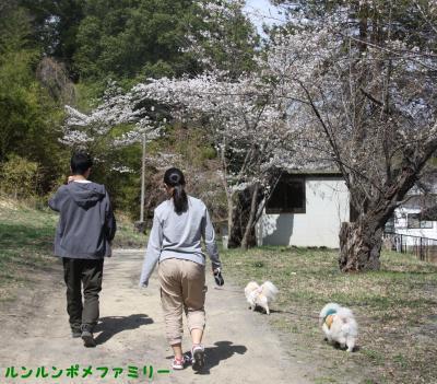 公園を抜けて 桜