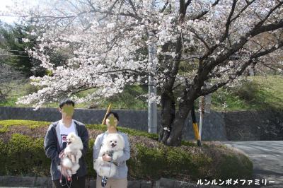 丸子公園 駐車場 桜