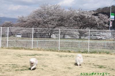 桜咲くラン 北側