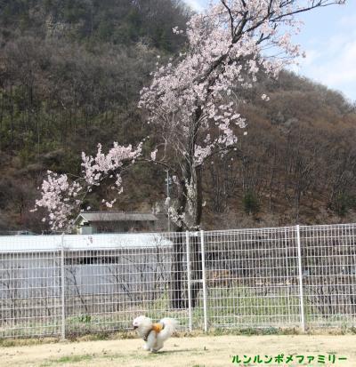 ドッグラン桜 西側②