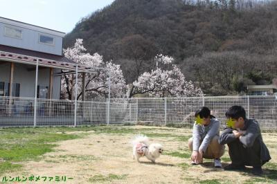カフェ横 桜