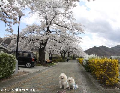 桜並木到着
