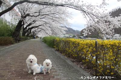 依田川沿い桜トンネル