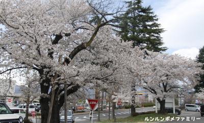 ツルヤの桜