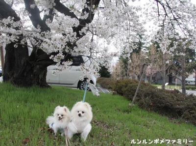 ツルヤの桜と