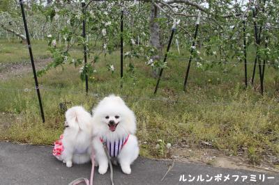 りんごの花と ①