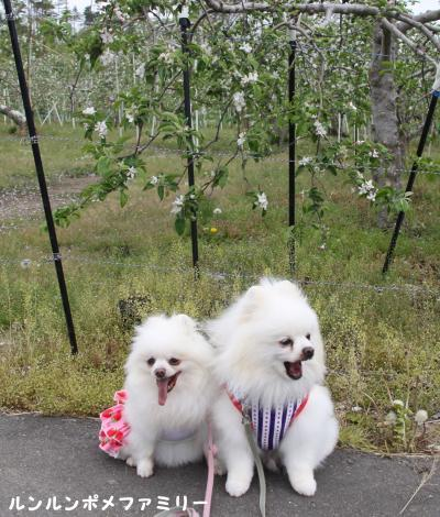 りんごの花と ②