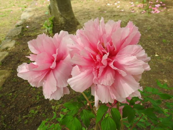180430茨城県立植物園_007