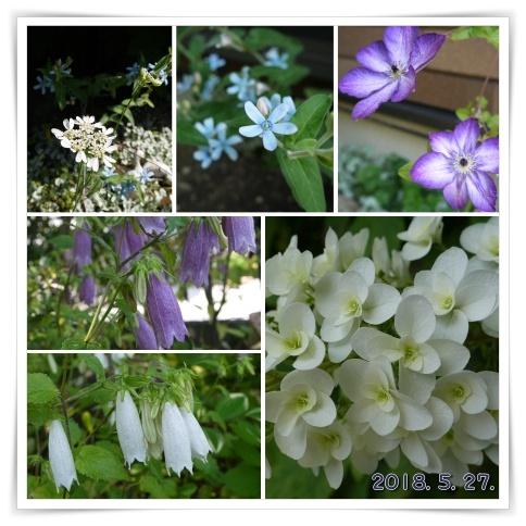 2018-5-27庭の花