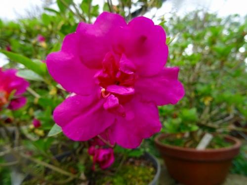 紫慕情DSC05544