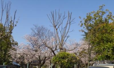 打越公園の桜