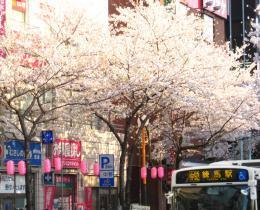 2018 ③ 桜