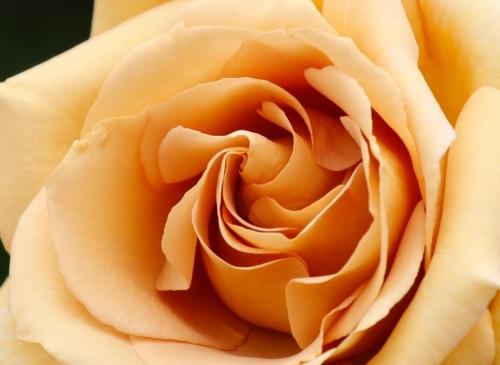 巻きが綺麗なバラを探そう