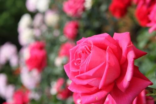 沢山のバラを