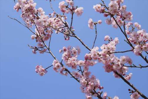 可愛い桜色