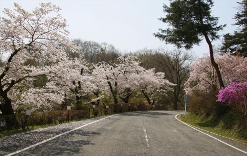 通り抜けの桜へ