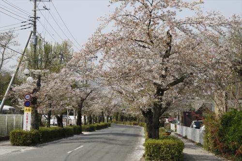 北桜どおり