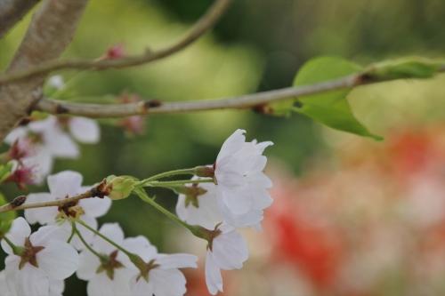 桜見納めです