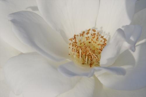 白のバラが気になる