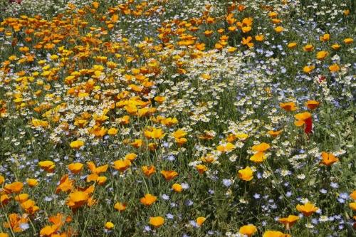 カリフォルニアポピーの黄色 カモミールの花