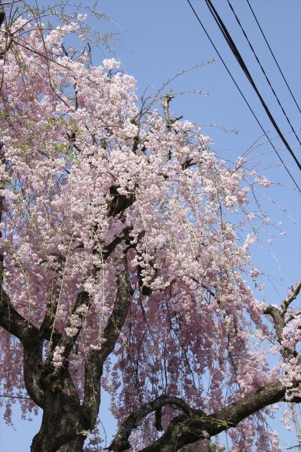 長瀞駅の桜