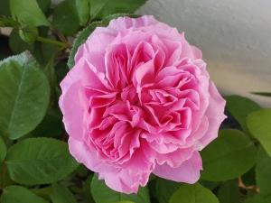 Maryrosefirstbloom0518