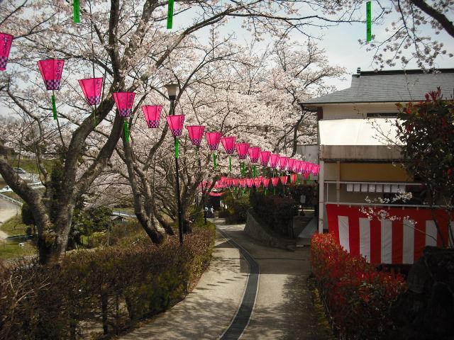 桜ぼんぼり1