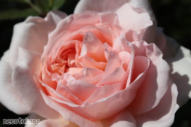 IMG_0779 ダマスク ピンク