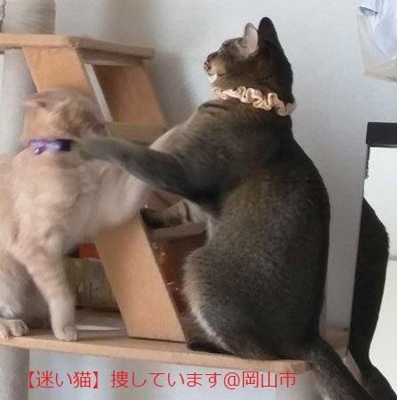 【迷い猫】岡山市*キジトラ猫捜しています