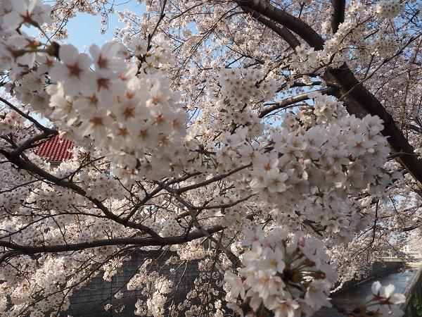 桜h30,4満開の