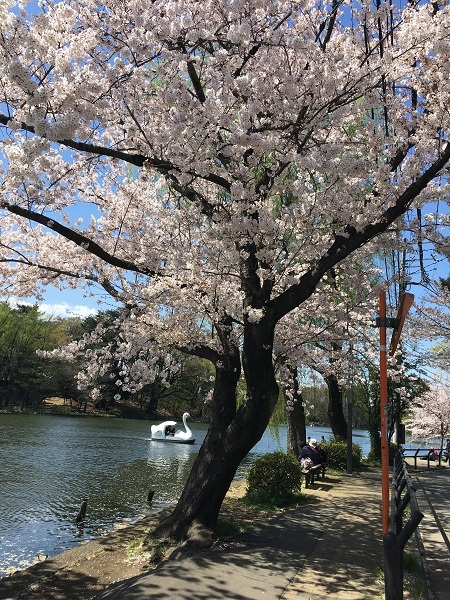 h30,4ボート池の桜