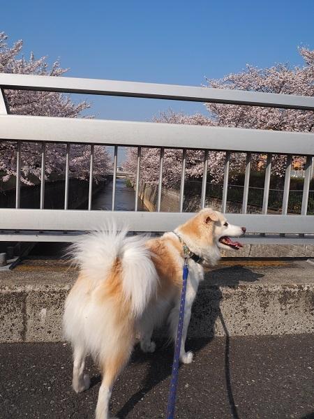 h30,4満開の桜とアロー