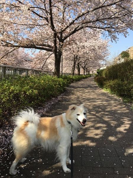 h30,4散る桜とアロー