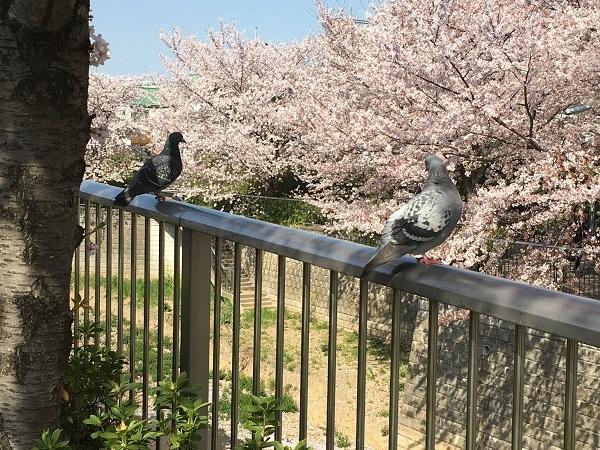 鳩h30,4桜と
