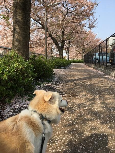 h30,4桜の絨毯でアロー