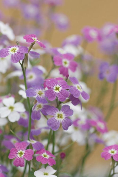 20180414小さい花