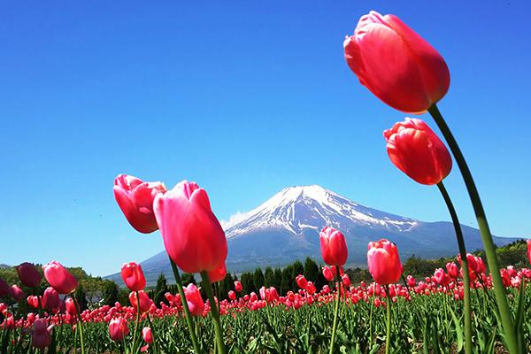 20180427 富士山と花
