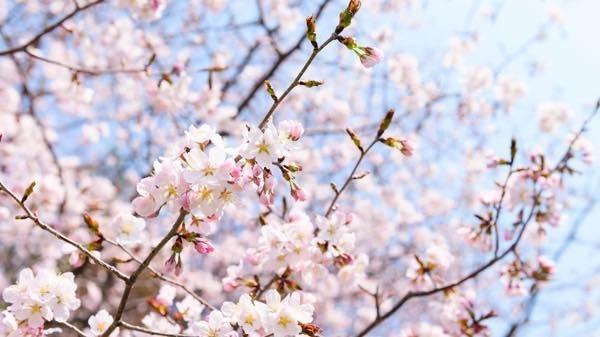 20180603 桜