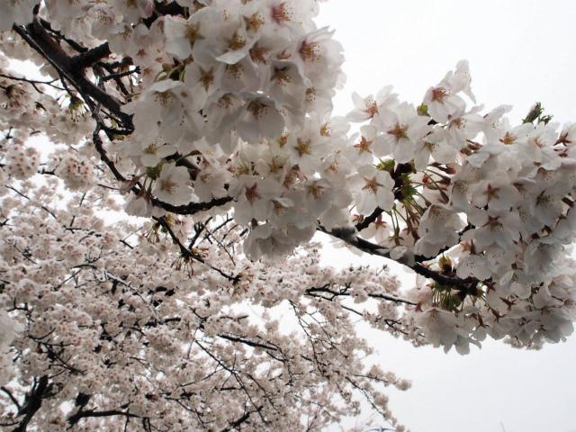 満開の桜に