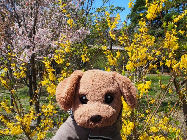 桜とレンギョウ