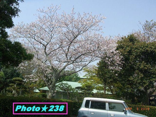 公園の桜。