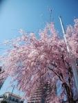 仙台枝垂れ桜
