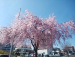 仙台枝垂桜(4)