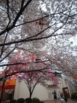 八幡山タワーと桜