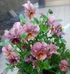 ビオラ(ピンク)