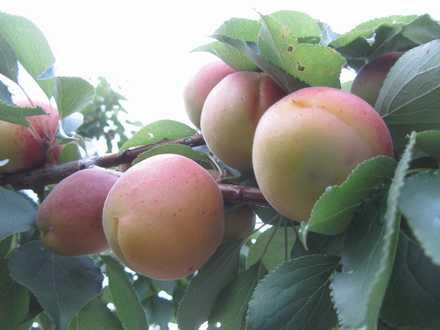 梅の実 1