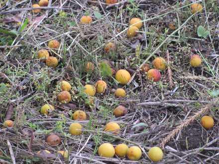 梅の実 4