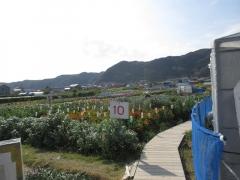 千倉の花畑