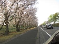 今日も桜満開